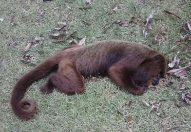 Região tem 5 casos de macacos mortos, um é em Paraguaçu