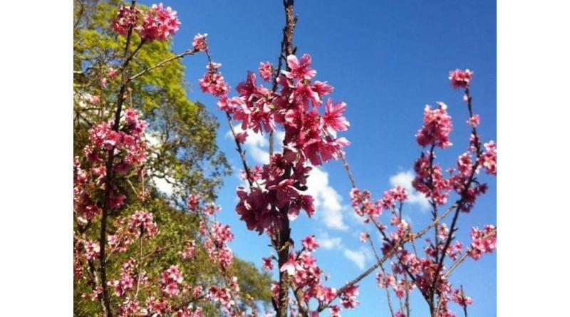 Cerejeiras Festival tem programação de 27 a 30 de junho em Garça