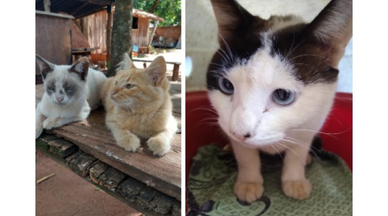 Três gatos estão para adoção responsável em Paraguaçu