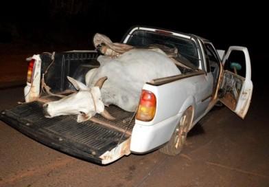 Polícia Civil recupera vaca furtada após suspeito se envolver em acidente