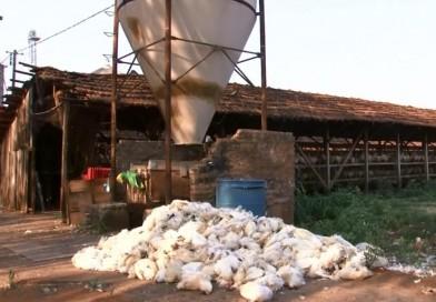 Produtores de ovos de Bastos relatam morte de mais de 30 mil galinhas por causa do calor