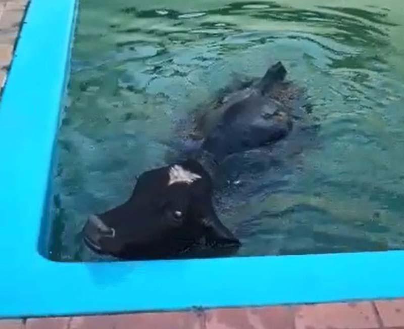Boi é achado dentro de piscina de chácara em Salto Grande
